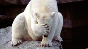 Polar bear facepalm